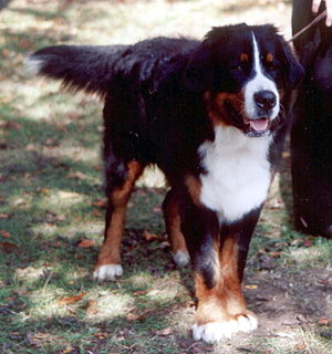 Swiss mountain dog - Image: Berneński pies pasterski