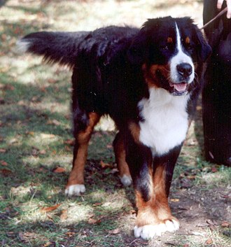 Swiss mountain dog - Image: Berneński pies pasterski