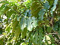 Bertholletia excelsa ehk parapähklipuu lehestik.jpg