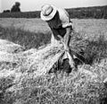 Betegar veže snope ovsa, Tatre 1955 (3).jpg