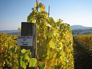 Chardonnay vines in late October in the Oregon...