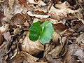 Beuk (Fagus sylvatica), kiemplant.JPG