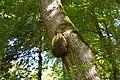 Bienen-Nest an einem Baumstamm 7.JPG