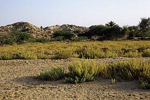 Suaedoideae - Habitat of Bienertia sinuspersici
