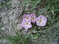 Bindweed - Convolvulus arvensis - geograph.org.uk - 1471987.jpg