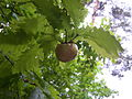 BiorhizaPallida 1 140512.JPG