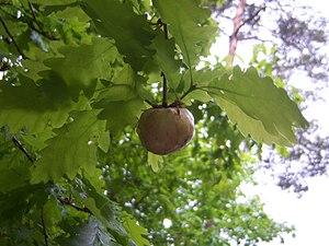 Oak Apple Day - An oak apple