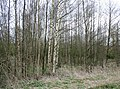Birches in Whitchurch Waterway Country Park - geograph.org.uk - 1232163.jpg