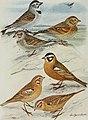 Bird-lore (1911) (14775189803).jpg