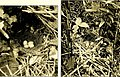 Bird homes. The nests, eggs and breeding habits of the land birds breeding in the eastern United States; with hints on the rearing and photographing of young birds (1900) (14565894398).jpg