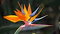 Bird of Paradise - what a lovely flower! (8017323665).jpg