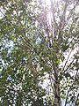 Birkenblätter in der Sonne.jpg