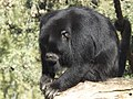 Black-and-gold howler 04.jpg