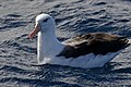 Black-browed Albatross (35773705193).jpg
