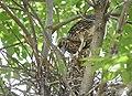 Black-crowned Night-Heron young (48432232062).jpg