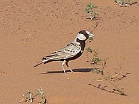Black-crowned Sparrow Lark small
