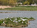 Black-headed Gull Colony (19333969551).jpg