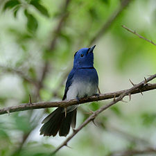 Black-naped Monarch 8152.jpg