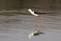 Black-winged Stilt, Common Stilt, or Pied Stilt, Himantopus himantopus at Borakalalo National Park, South Africa (9900166335).jpg