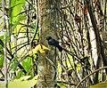 Black Antshrike Thamnophilus nigriceps male (28327113887).jpg