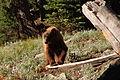 Black Bear- Ursus americanus (9401048937).jpg
