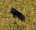 Black Bear 1 (8001736198).jpg