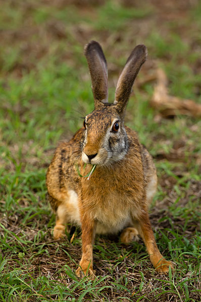 파일:Black Naped Hare.jpg