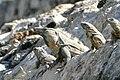 Black Spiny-tailed Iguanas (Ctenosaura similis) male with 3 females, Edzna, Campeche.jpg