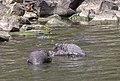 Black Swans, River Torrens, Adelaide (51056060648).jpg