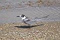 Black Tern (Chlidonias niger) (15309045021).jpg