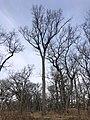 Black oak in High Park Toronto.jpg