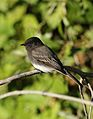 Black phoebe, Sayornis nigricans, along the Guadalupe River in Santa Clara, California, USA (25319847039).jpg