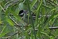 Blackpoll Warbler (male) Sabine Woods TX 2018-04-21 09-52-55 (41072163285).jpg
