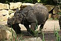Blijdorp - Rhinoceros unicornis.jpg