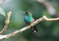 Blue-chested-hummingbird.png