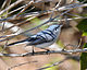 Blue-gray Gnatcatcher (5494248587).jpg