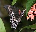 Blue Mormon Papilio polymnestor (3986294976).jpg