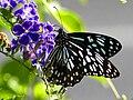 Blue Tiger Butterfly Australia.jpg