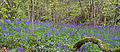 Bluebell Wood 3 (6969992838).jpg