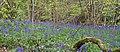 Bluebell Wood 3 (6969992838).jpg