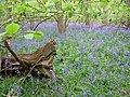 Bluebells in Coldridge Copse, Gt Shefford - geograph.org.uk - 158463.jpg