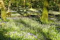 Bluebells in Plymbridge Woods (4555).jpg