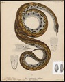 Boa cenchris - 1700-1880 - Print - Iconographia Zoologica - Special Collections University of Amsterdam - UBA01 IZ11900031.tif