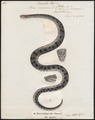 Boa murina - 1700-1880 - Print - Iconographia Zoologica - Special Collections University of Amsterdam - UBA01 IZ11900047.tif