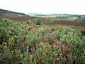Bog myrtle scrub, Harbottle Moors - geograph.org.uk - 1496452.jpg