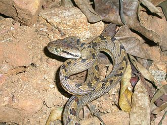 Boiga ceylonensis - This species is part of a confusing complex that has not been fully examined using modern techniques. This Western Ghats specimen could belong to this species.