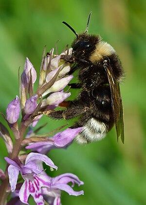 Bombus bohemicus - Female