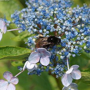 Bombus ignitus - Bombus ignitus feeding on a blue hydrangea.
