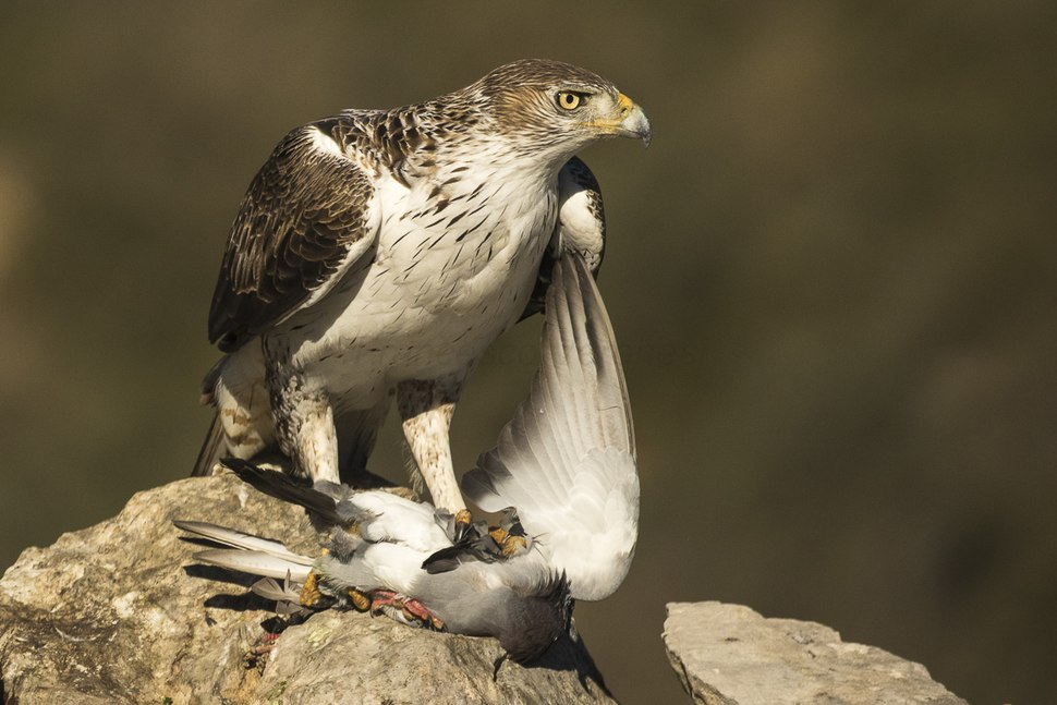 Bonelli's Eagle with prey - Montsonis - Spain MG 4679 (24590808223)
