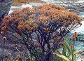 Bonnetia roraimae (Habitus)-3.jpg
